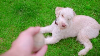 Dog owner throwing ball. Dog catching ball on grass. Dog play tennis ball. Man hand throwing toy. Playful pet running on grass. White poodle playing outdoor. White pet playing toy