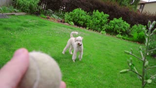 Dog playing toy. Pov of man hand throwing tennis ball. Dog play ball. Point of view owner playing with pet. Playful animal running on grass. White poodle dog playing outdoor