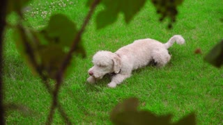 Dog scratching on green grass. White Labradoodle itching on lawn. Cute pet scratching himself outside. Lovely pet lying at green lawn. Itchy dog on grass. Animal instinct