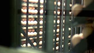 Eggs in incubator at chicken farm. Chicken eggs production at farm. Poultry farm incubator. Agriculture equipment. Chicken eggs incubation