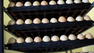 Rack with eggs prepared for incubator at chicken farm. Rows of eggs at poultry farm