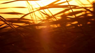 Grass at sunset. Closeup. Cane leaves at sunlight background. Abstract warm mystical background. Reed swaying on wind at summer. Leaves silhouette at sunrise. Leaves background. Leaves pattern at meadow