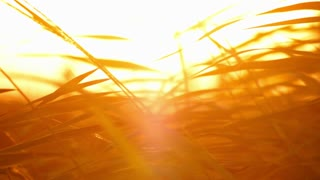 Grass at sunset. Closeup. Cane leaves at sunlight background. Abstract warm tropical background. Reed swaying on wind at summer. Leaves silhouette at sunrise. Leaves background. Leaves pattern at meadow