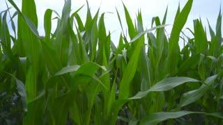 Green field of corn. Corn leaves on field. Closeup of corn field. Organic corn field. Close up of green leaves on farm field. Corn stalks swaying in wind