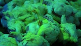 Chicken farm. Young birds on rural poultry farm closeup. Chicken farming