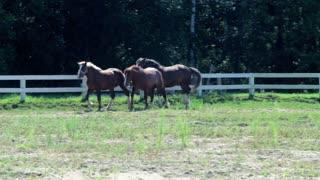 Horses at horse farm. Horses in paddock at horse ranch. Group of young horses on pasture. Race horses galloping outdoor. Purebred horses running at ranch