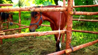 Closeup of race horse in paddock. Purebred horse behind wood fence. Young brown stallion. Horse ranch. Young horses at horse farm