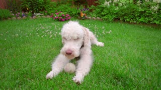 Labradoodle lying down at green lawn. Tired dog licking lips. White dog on grass. White Labradoodle with toy. Calm dog with toy. Pet lying with toy on backyard. Labradoodle lying on grass