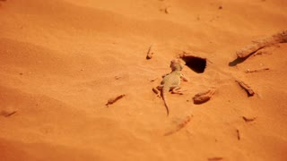 Lizard in desert. Reptile on sand dunes. Desert animal. Lizard moving on sand. Orange sand dunes with reptile. Wildlife animal in extreme terrain. Lizard closeup. Reptile macro. Safari in desert
