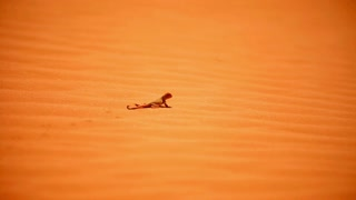 Lizard sensed danger in desert and ran