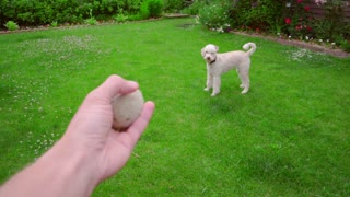 Man hand throwing ball. Dog playing with toy. Dog fetch ball. Man playing with dog. White poodle chasing ball. Playful animal running for toy. White pet playing outdoor