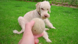 Man playing with dog at garden. White dog playing ball. Pov of man hand throwing tennis ball. Point of view owner play with pet. Playful Labradoodle running on grass. White poodle dog catching ball