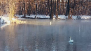 Misty river in winter park. Winter trees without leaves. Land covered by snow. Fog over cold water. Birds couple. White swans on water. Cold river. White swans swimming on river.