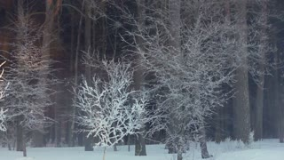 Morning in winter forest. Sunrise in winter forest. Panorama of trees covered with snow. Sun rays shine through snowy trees. Winter scene. Frosty winter sun rise. Snow covered park. Morning mist