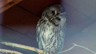 Owl blink eyes. Closeup of owl in zoo. Wild bird in zoo