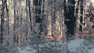 Panorama of winter forest. Snowy winter forest. Trees covered by snow. Winter pine forest. Snowy forest trees in winter. Winter background. Morning winter wonderland. Snow on trees in winter forest