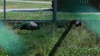 Peacock behind grid in zoo