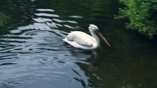 Pelican swim fast and jump out of water to lake coast. Waterfowl bird swimming. Water bird in lake. White pelican swimming in zoo lake. Zoological park lake with trees on coast