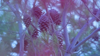Pine branch with cones on pine tree in forest. Pine tree and pine cones. Wood in forest. Christmas tree