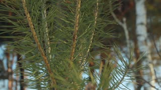 Pine needles. Closeup. Pine tree. Panorama from pine needles on young pine tree to old pine tree. Growth concept. Green pine branch. Young pine tree. Evergreen tree. Branch of coniferous tree