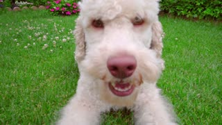 Playful dog eating grass. Close up of white dog looking at camera. Poodle dog playing outside. Happy pet lying on green lawn. Pet playing outdoor. White puppy playing on grass