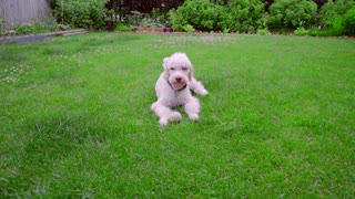Playful dog running away from ball. White labradoodle running grass. White dog playing toy. White puppy playing ball. Funny dog running on green grass. Lovely pet playing on backyard garden