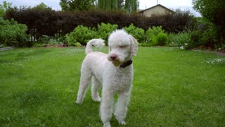 Poodle dog shakes on green lawn. White poodle standing on green grass. Funny dog wagging tail on backyard. White pet playing outdoor. Cute animal dog shaking
