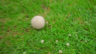 Pov of owner throwing tennis ball to white poodle dog. White dog playing with ball on green grass at garden backyard. Dog running on grass. Playful pet play ball. Playful animal running outdoor