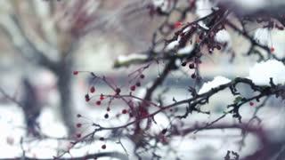 Red berries on winter tree