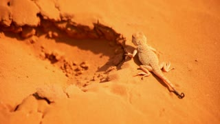 Reptile in desert. Reptile on sand. Close up of lizard on sand. Macro of desert animal on sand. Desert reptile on sand. Reptile in Sahara desert. Wildlife animals in desert