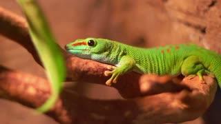 Reptile in zoo terrarium. Phelsuma gecko lizard. Closeup of colorful madagascar lizard on tree. Macro of exotic gecko reptile from madagascar. Tropical phelsuma reptile with green body on branch