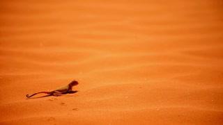 Reptile run on sand dunes in desert
