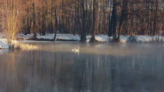 River in winter forest. Birds swimming on water. Mist over winter river. Misty morning in winter. Winter forest without leaves. White swans on forest lake in winter. Fog over cold water. Foggy weather