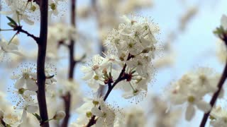 Sakura blossom. Flowers on blossoming tree in spring. Cherry flowers on tree branch. Spring blossom. Closeup. Blue sky. Flower blooming on tree branch. Bunch of white flowers on cherry tree. Macro