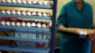 Farmer set eggs in incubator rack at chicken farm. Worker put eggs in incubator. Incubator at poultry farm. Food factory