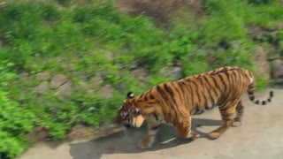 Siberian tiger in zoo. Wild tiger in aviary. Carnivore animals in zoological park. Beautiful stripes on angry predator and hunter. Aggressive bengal tiger in zoo. Stripes on tiger fur