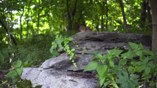 Small chipmunk on stone. Striped rodent of family squirrel. Chipmunk sitting on big stone in green forest. Wildlife ground squirrel running away
