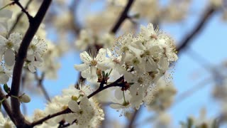 Spring blossom. Cherry flowers on tree branch. Closeup. Blue sky. Flower blooming on tree branch. White flowers on cherry tree. Nature background. Macro. Sakura flowers on blossoming tree in spring
