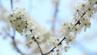 Spring flowers on cherry tree on blue sky background. White flowers on cherry branches. Closeup. Cherry blossoming in spring. Fresh blooming cherry on tree branch. Two blooming branches of cherry tree