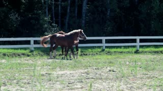 Horses at horse farm. Horses in paddock at ranch. Group of young horses on pasture. Race horses galloping outdoor. Purebred horses running at horse farm