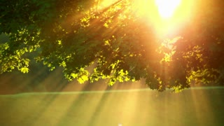 Sunlight through tree in foggy morning. Sun rays through tree leaves in morning fog. Sun beams. Closeup of sun glare in the tree foliage. Golden sun light in tree leaves in summer. Tree at morning sunrise
