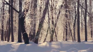 Sunlight in winter forest. Sun shine through tree branches covered with snow. Winter wonderland. Sun flare in winter tree. Sun rays in winter forest. Snow covered tree. Sun beams through winter tree