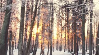 Sunset in park, trees covered with snow. Trees covered with white snow. Sun rays shine through snow covered branches of forest trees. Frosty winter sunset. Sunlight in winter forest. Evening in park