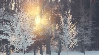 Sunset in winter forest. Sun rays shine through winter trees. Frosty winter sun set. Snow covered park. Park trees covered with white snow. Sunlight shine through snow covered branches of trees