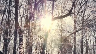 Sunset in winter forest. Sun shine through tree branches covered with snow. Hoarfrost on branches, snow covered winter forest. Sun rays beam through winter tree. Brilliant frosty frost on trees