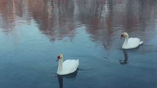 Swans dive and cleans feather. Swimming birds diving in winter lake. White swans swimming in river. Swans on blue water. Birds cleaning feather. Birds couple. Trees reflection on water surface