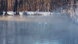 Swans dive in to forest lake in winter season. Mist over lake in winter park. Birds diving in to water. Fog over cold water. Foggy weather. Birds couple. White swans swimming on lake in winter park