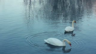 Swimming birds on river. Swan cleaning feather. White swans swimming in lake. Swans on water surface. Swans on pond. Wildlife. White swans on water. Swan couple. Swimming birds
