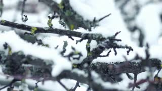 Tree branch with snow in winter