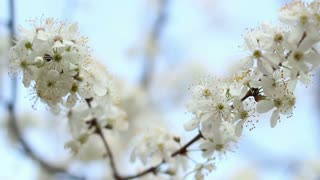 Tree branches with flowers in spring. Two branches of blooming cherry tree. Spring flowers on cherry tree on blue sky background. Closeup. Cherry blossom in spring. Blooming cherry tree